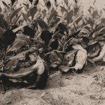 """El campo y el trabajo agrícola: Tres chicos, uno de 13 años, dos de 14 años, recogiendo tabaco. La """"primera cosecha"""" exige una postura de sentado. Buckland, Connecticut."""
